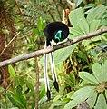Ribbon-tailed Astrapia male. (Astrapia mayeri) (48940344753).jpg
