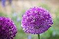 Riesen-Zierlauch (Allium) - Flickr - blumenbiene.jpg