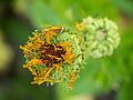 Ringelblume, Calendula officinalis (05).jpg
