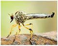 Robberfly from perumbavoor 2.jpg