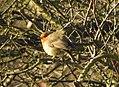 Robin (32780247032).jpg