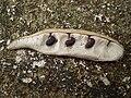 Robinia pseudoacacia seed pod.jpg
