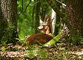 Roe Deer (Capreolus capreolus), Viscri - Deutsch-Weißkirch, Transsylvania, 29.05.2015 (17775516494).jpg
