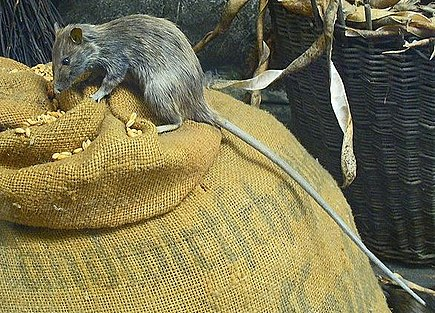 The black rat is a reservoir host for bubonic plague: the oriental rat fleas that infest these rats are vectors for the disease. Roof rat-(rattus rattus).jpg