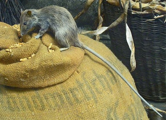 The black rat is a reservoir host for bubonic plague: the oriental rat fleas that infest these rats are vectors for the disease.