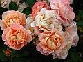 Rosa 'Cubana' 02.JPG