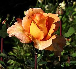 Rosa 'Louis de Funès' 04.JPG