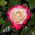 Rosa 'Nostalgie' (d.j.b) 02.jpg
