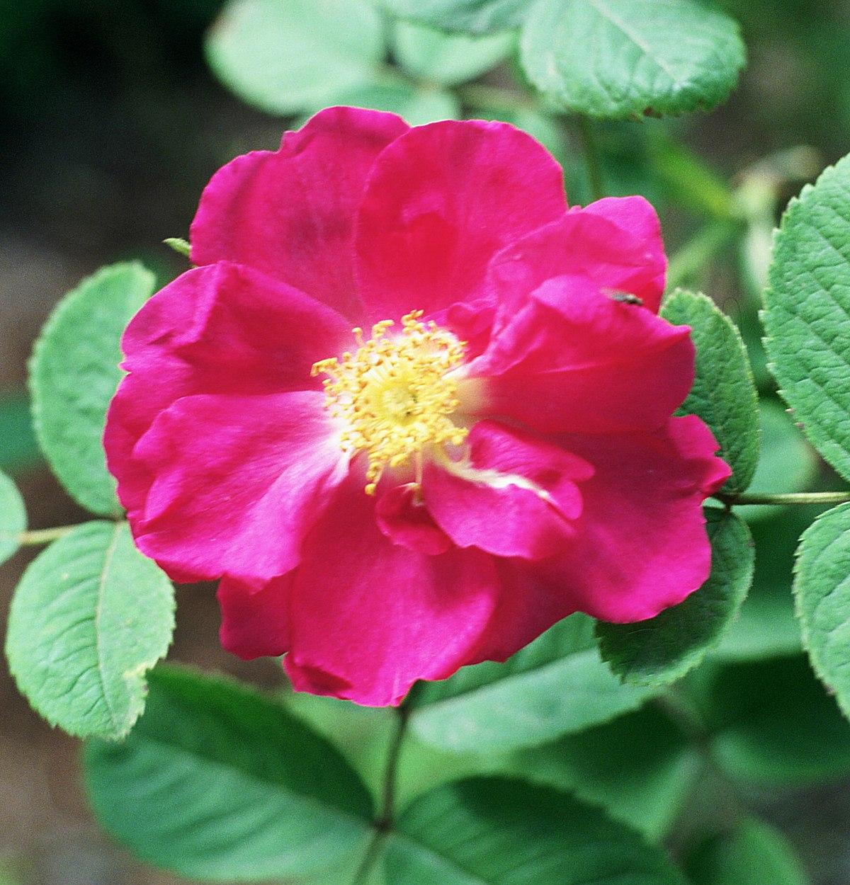 Róża Wikicytaty