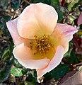 Rosa Irish Elegance 1.jpg