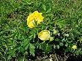 Rosa Persian Yellow 2019-06-03 4579.jpg
