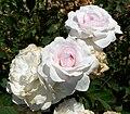 Rosa Pompon Blanc Parfait 2.jpg