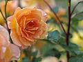 Rose, Tarantella, バラ, タランテラ, (15982497112).jpg