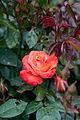 Rose, Tequila - Flickr - nekonomania (2).jpg