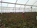 Rose Greenhouse 2.jpg