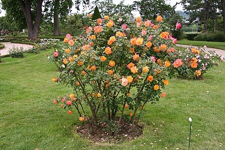 Rose Sahara 20070601 1.jpg