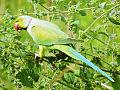 Rose ringed Parakeet (ଶୁଆ) 004.jpg