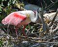 Roseate Spoonbills on nest by Bonnie Gruenberg3.jpg