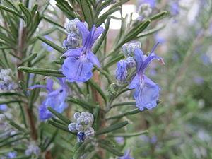 Rosemary - Flowering rosemary