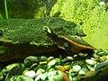Rotbauch-Spitzkopfschildkröte Jungtier.JPG