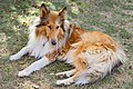 Rough Collie Canberra 2016.jpg