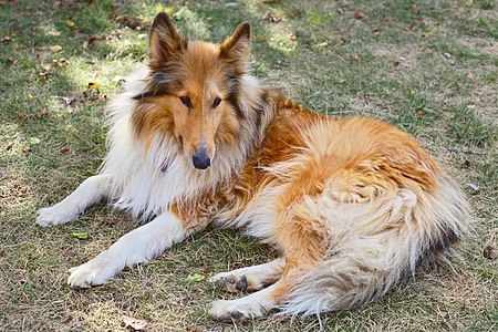 Rough collie in a reclining pose