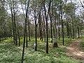 Rubber trees,ranni,kerala - panoramio.jpg