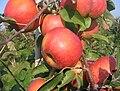 Rubin apple.jpg