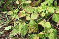 Rubus caesius IMG 8178 Forêt Domaniale de Verdun.JPG