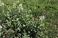 Rubus canescens kz01.jpg
