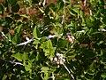 Rubus niveus Thunb. (17090280288).jpg