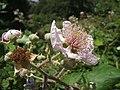 Rubus ulmifolius 001.jpg