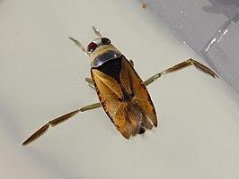 Gewoon bootsmannetje wikipedia for Wassertiere im teich