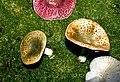 Russula viridirubrolimbata DG1990 0706.jpg