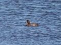 SCAUP, LESSER? (10-26-10) patagonia lake state park, scc, az -02 (5118883141).jpg