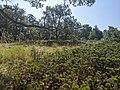 Sabinares rastreros de Alustante - Tordesilos (sabinas y árboles).jpg