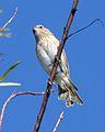 Saffron Finch (Sicalis flaveola) - Flickr - Lip Kee (1).jpg