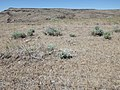 Sagebrush steppe (post- and pre-fire) above Mountain Home (9685511749).jpg