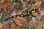 Salamandra salamandra Unterlamm 02.jpg