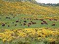 Salers dans le Cantal.jpg