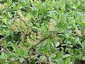 Salix waldsteiniana1.jpg