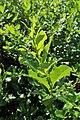 Salix waldsteiniana kz02.jpg