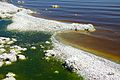 Salton sea algal bacterial bloom.jpg