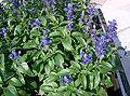Salvia farinacea4.jpg