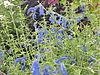 Salvia patens4
