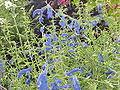 Salvia patens4.jpg