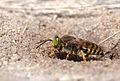 Sand wasp (Bembix rostrata), Fort du Loc'h, Guidel, Brittany, France (19900725286).jpg