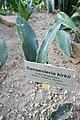 Sansevieria kirkii-Jardin botanique de Berlin (2).jpg