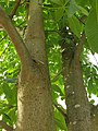 Sapindales - Aesculus flava - 5.jpg