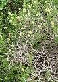 Sarcopoterium spinosum1.JPG